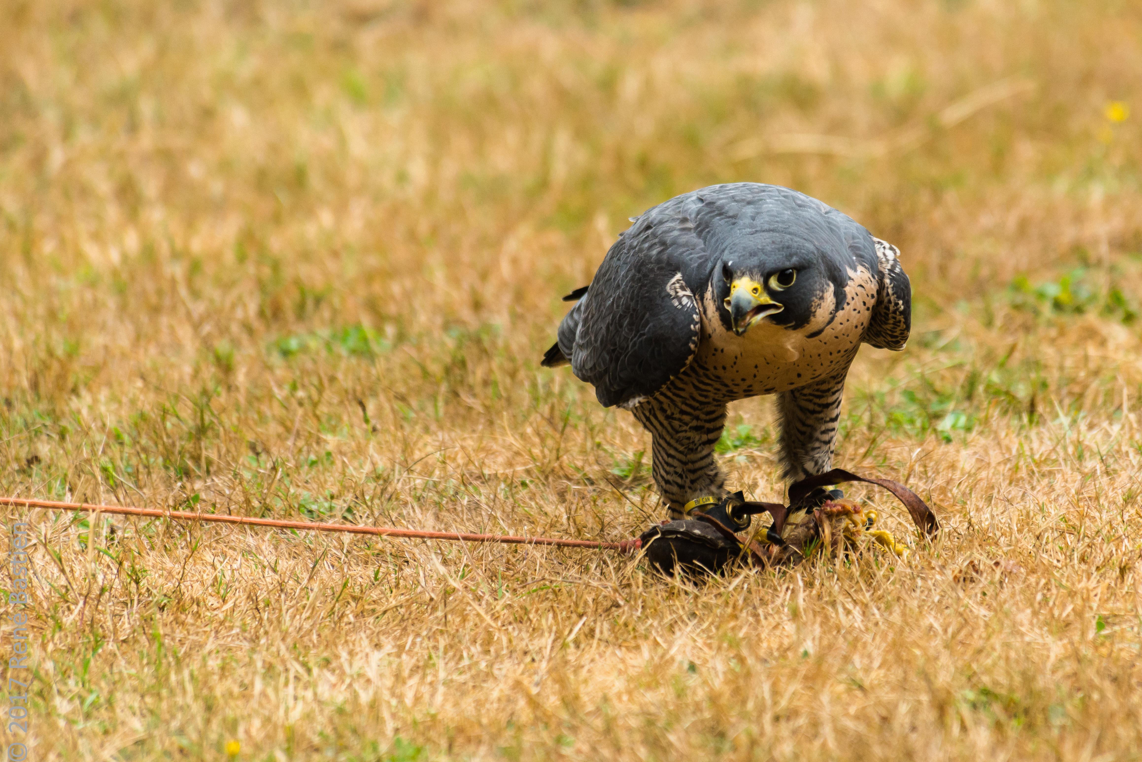 peregrine falcon-6994