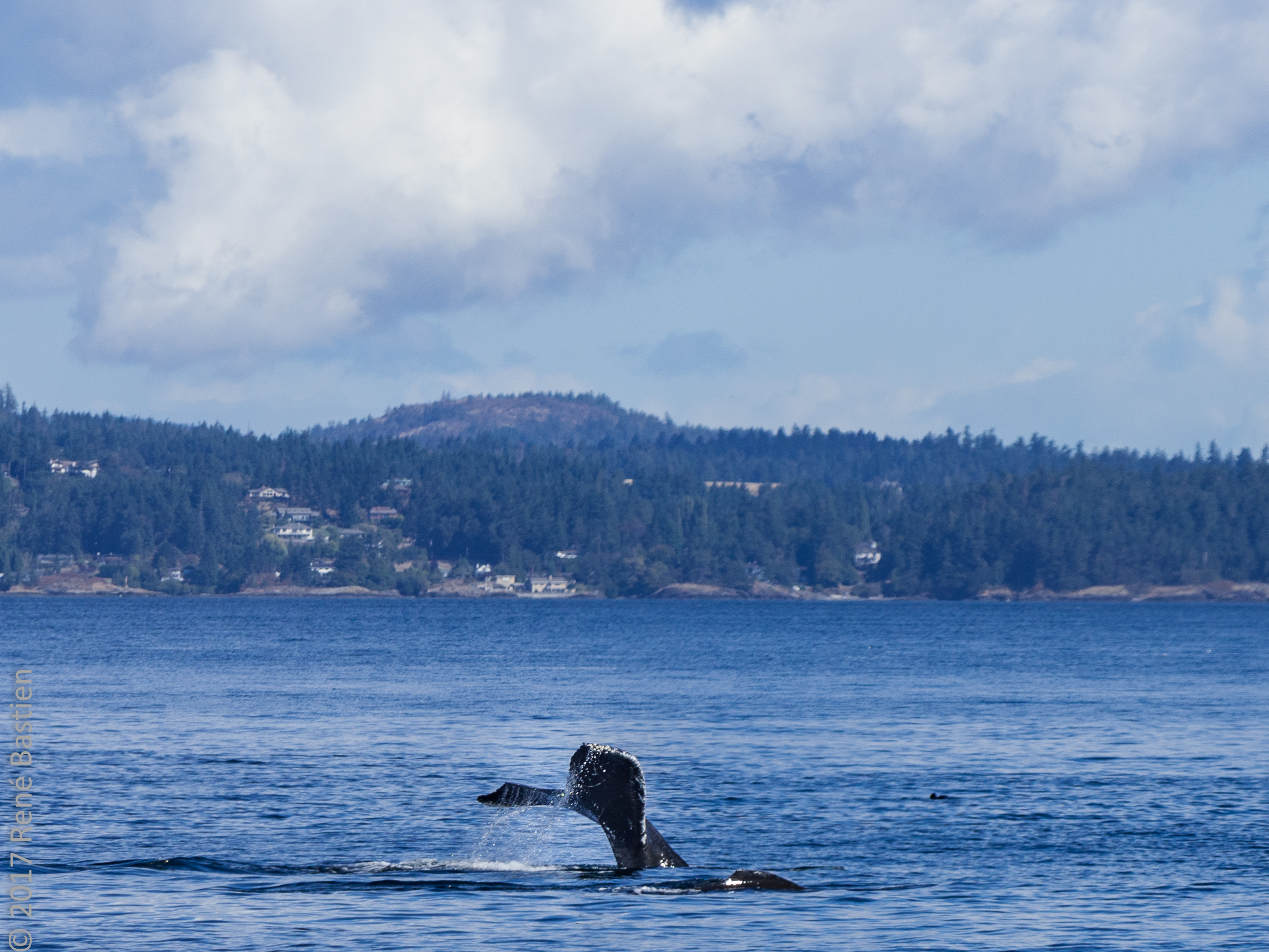 humpback whales-7175