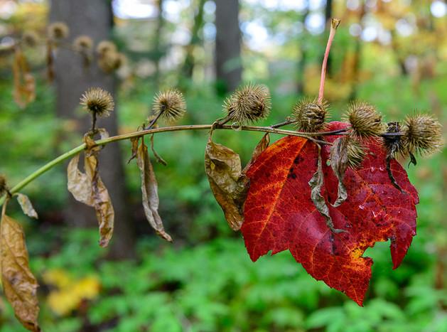 Ste-Foy maple leaf stuck-.jpg