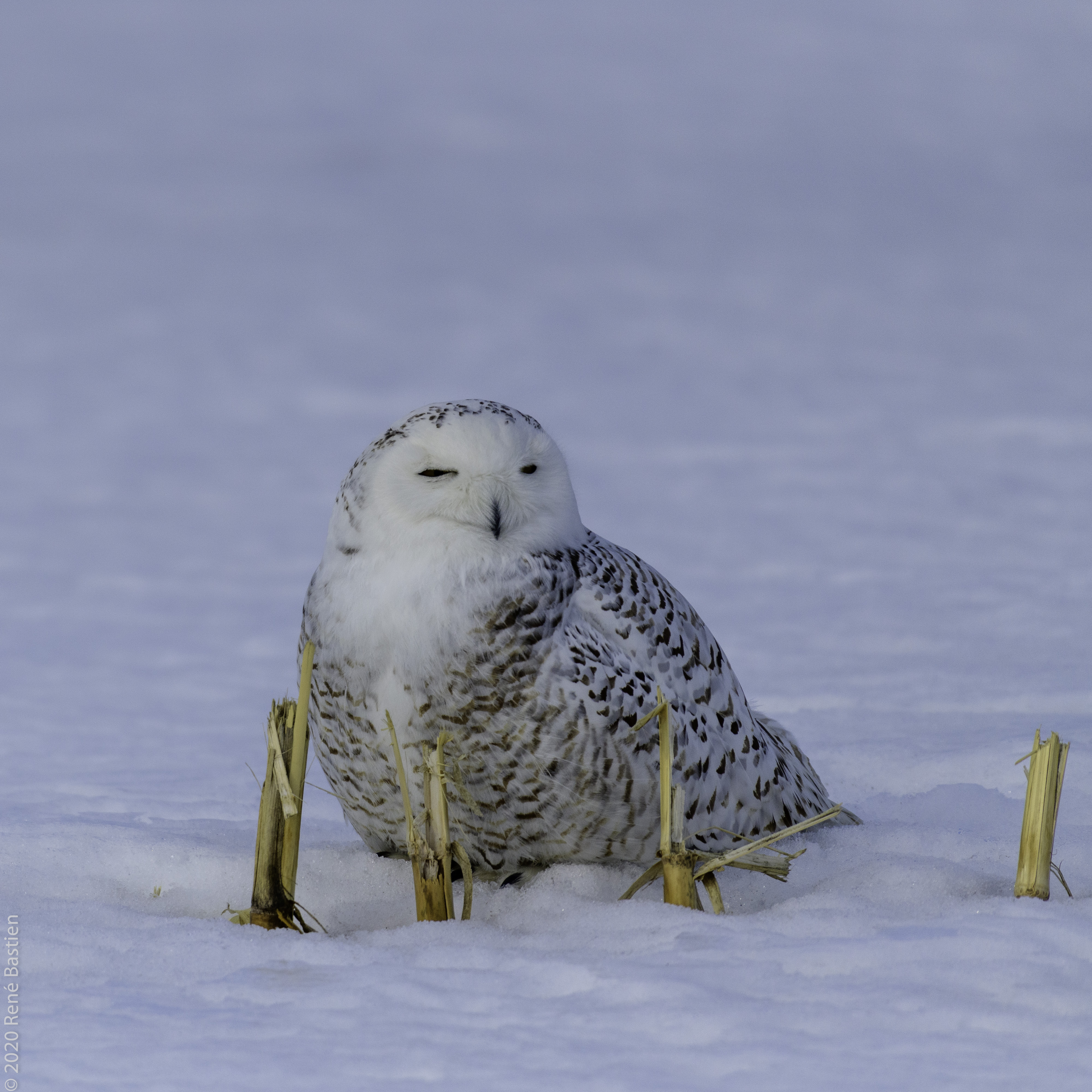 Snowy Owl-2-6