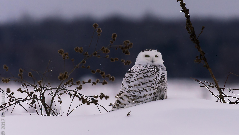 snowy owl-