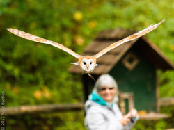 barn owl-6930