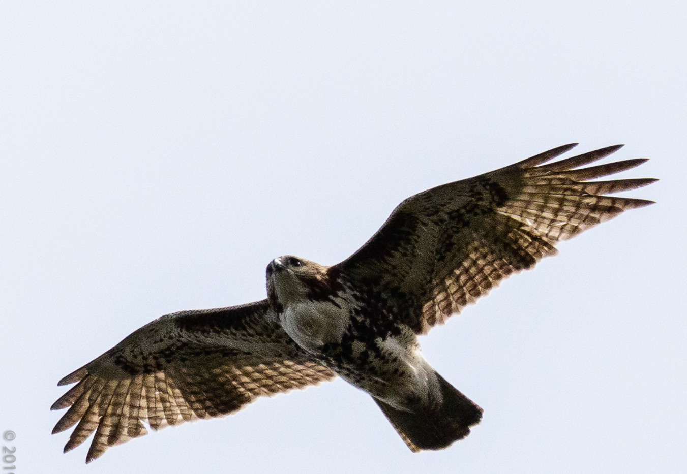 Le Bic-3135 red tailed hawk.jpg