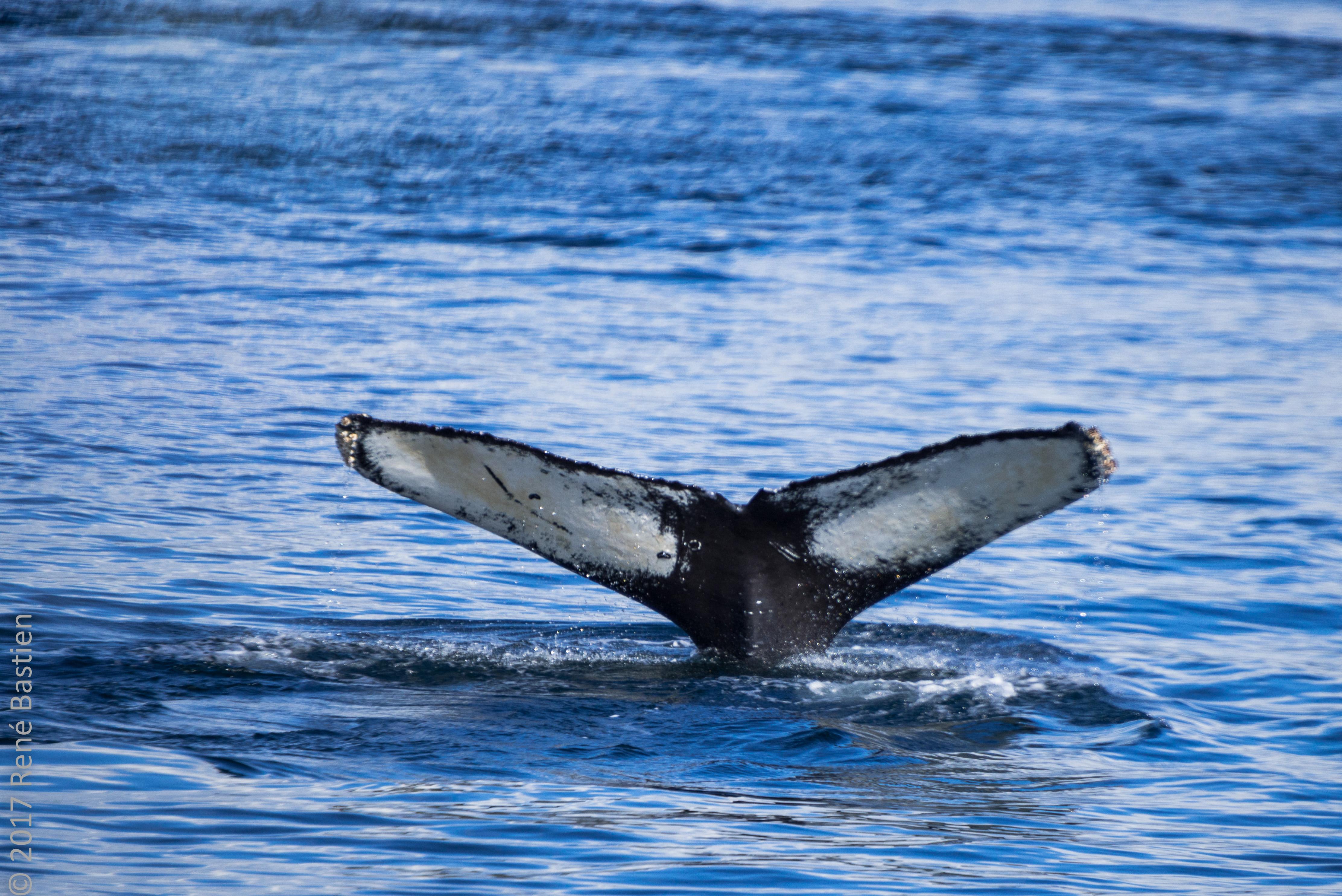 humpback-7167