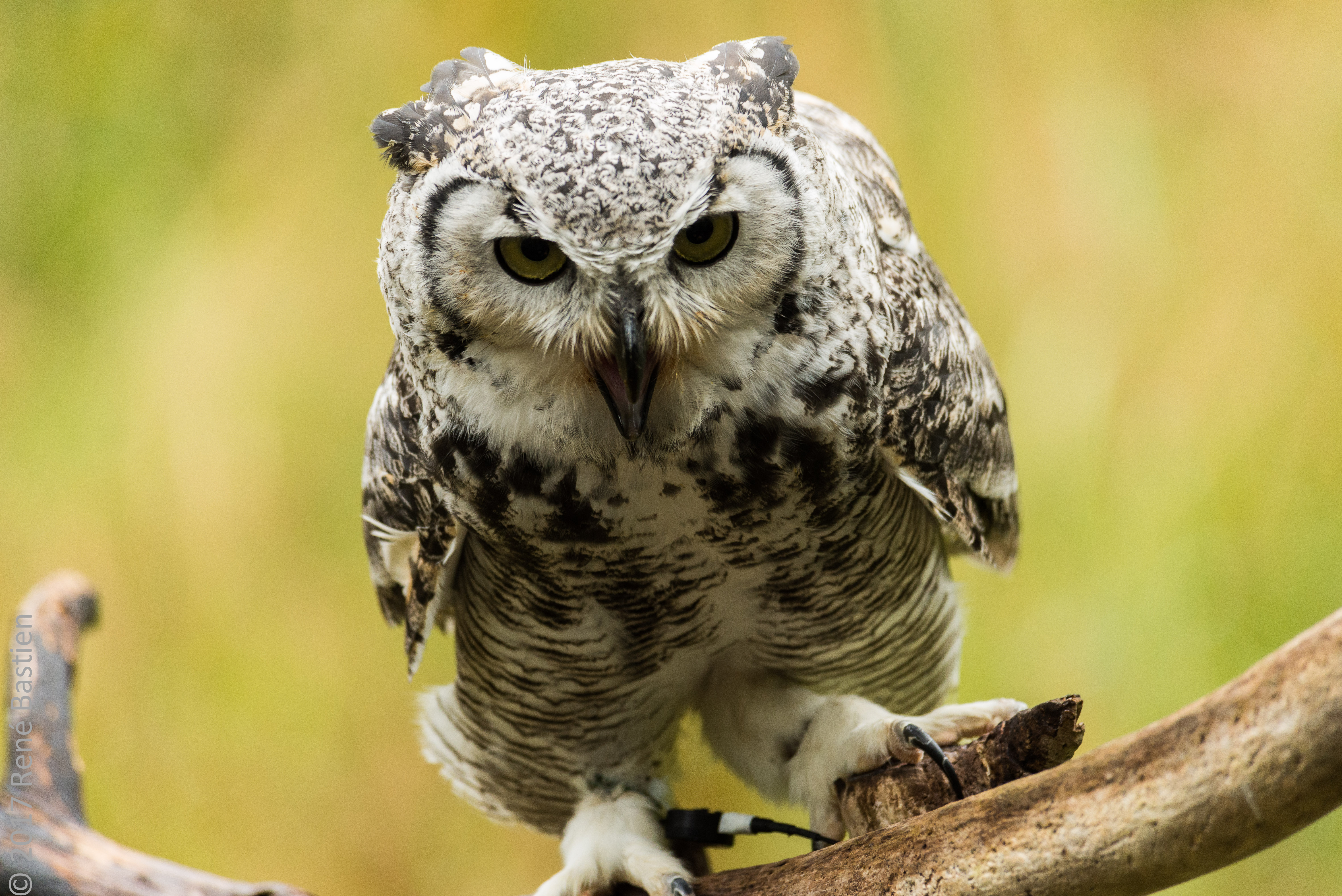 great owl-6896