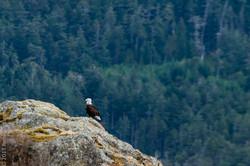 bald eagle-7321