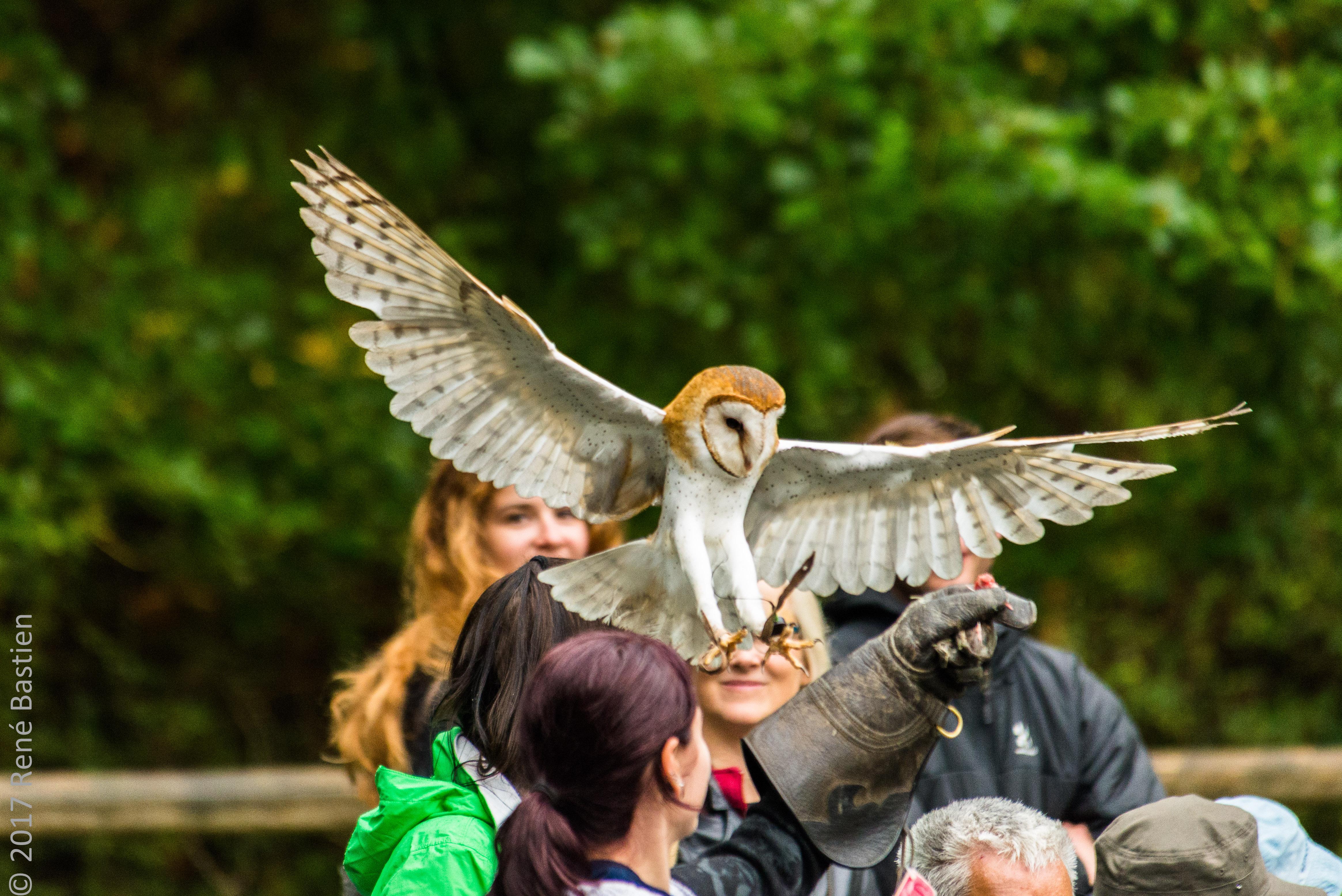barn owl-6935
