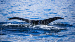 humpback-7159