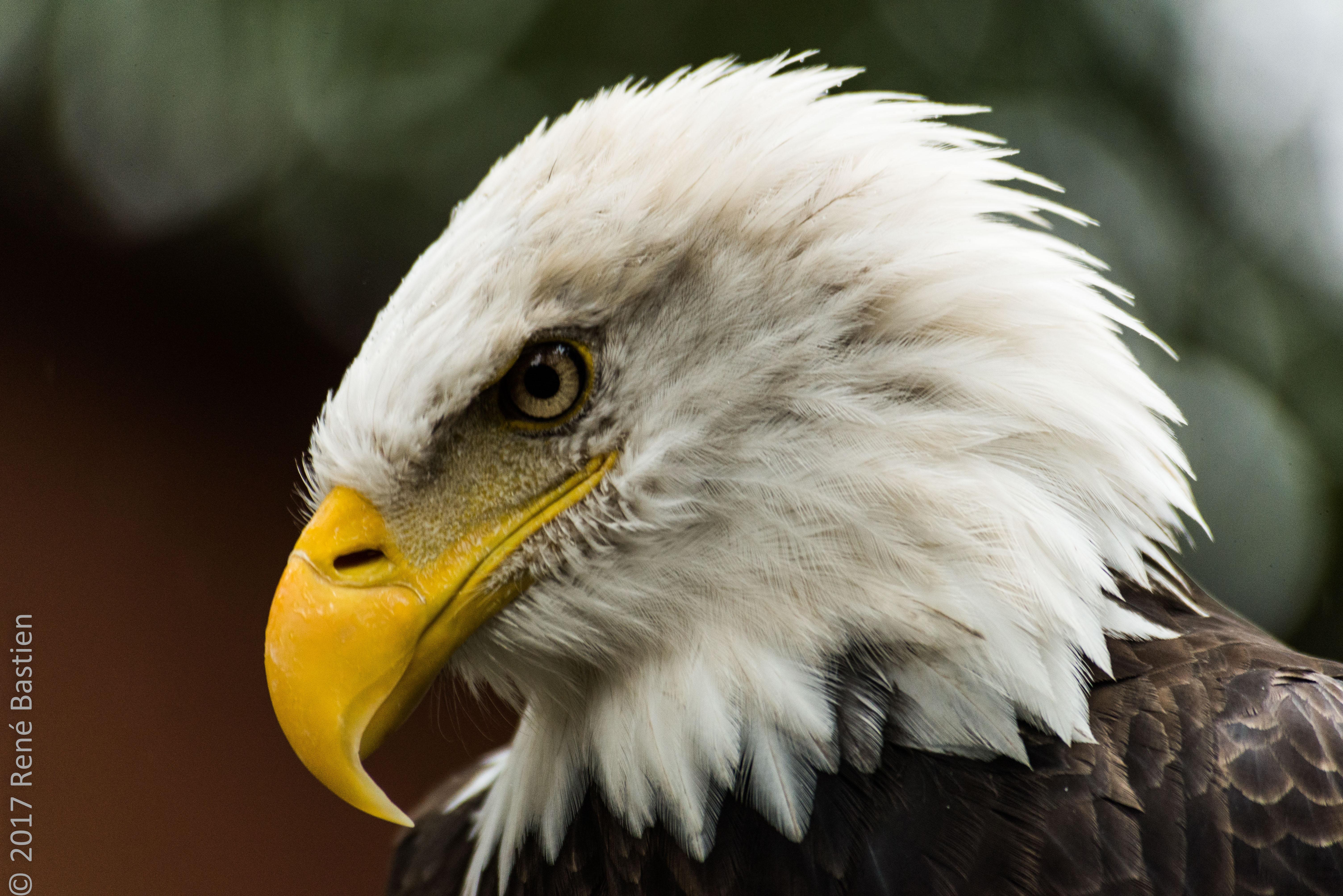 bald eagle-6655