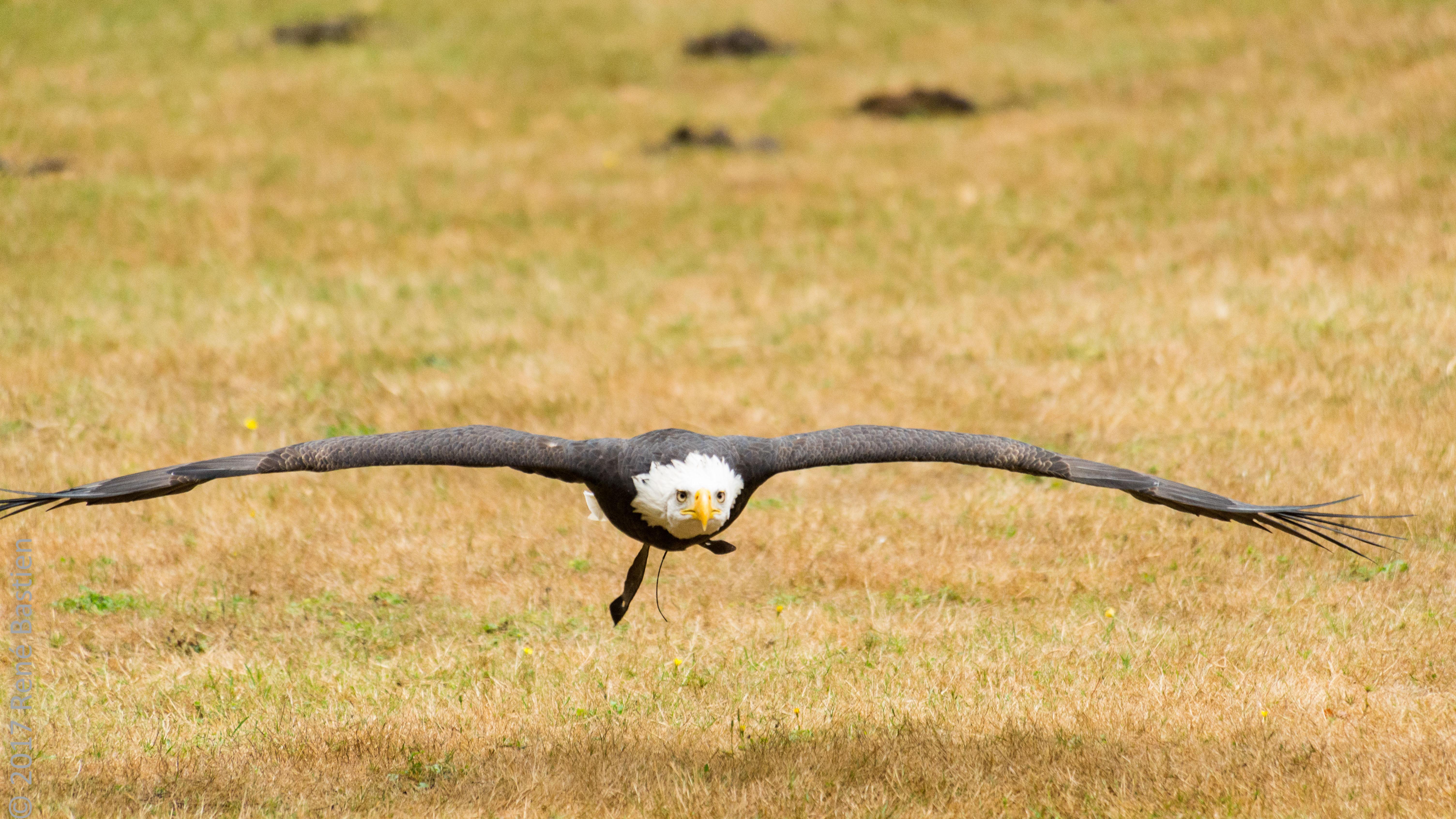 bald eagle-6721