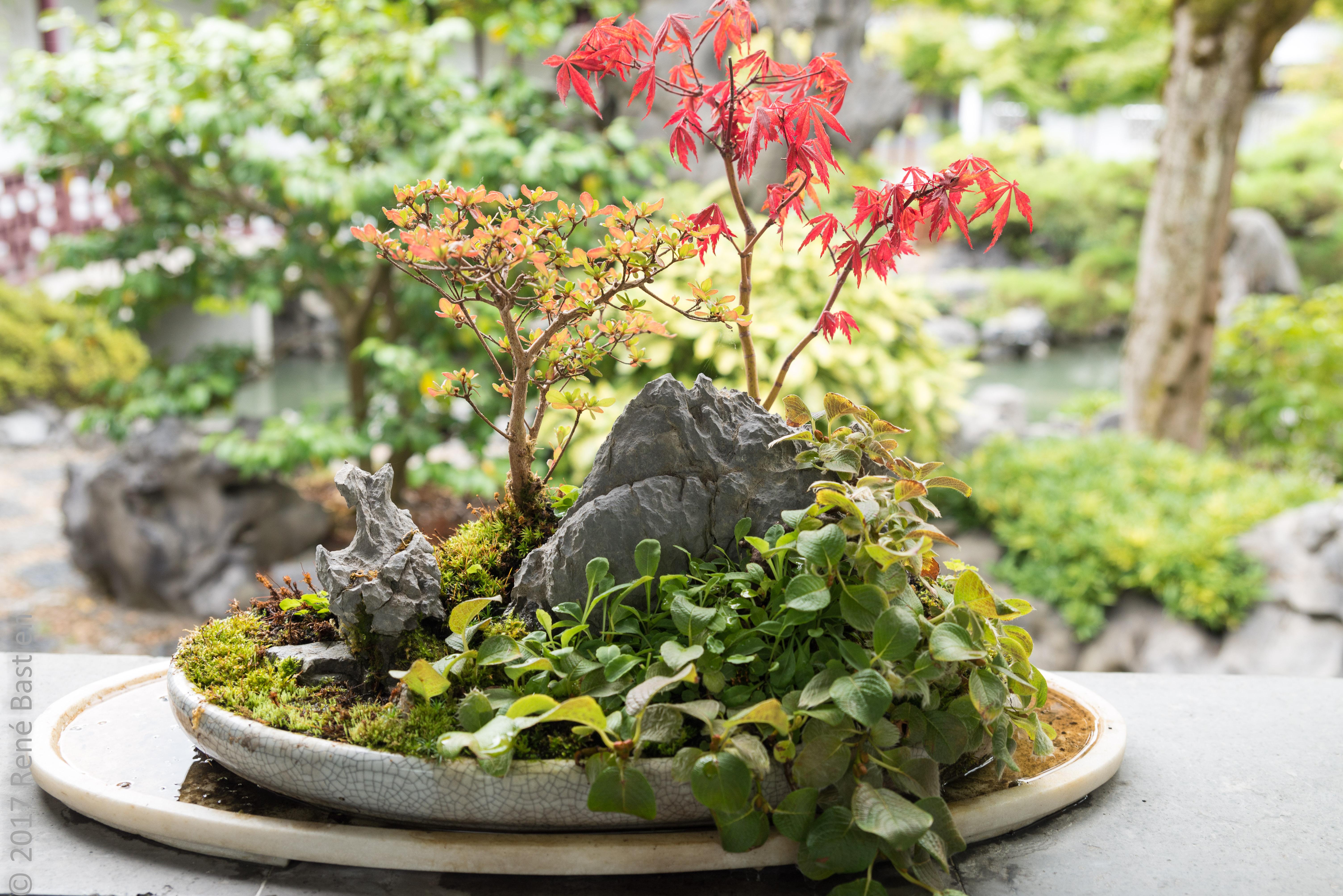 bonsai-5636