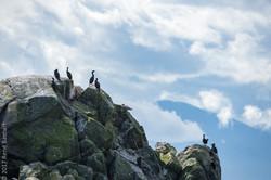 sea birds-7279