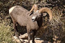 male mountain goat-1
