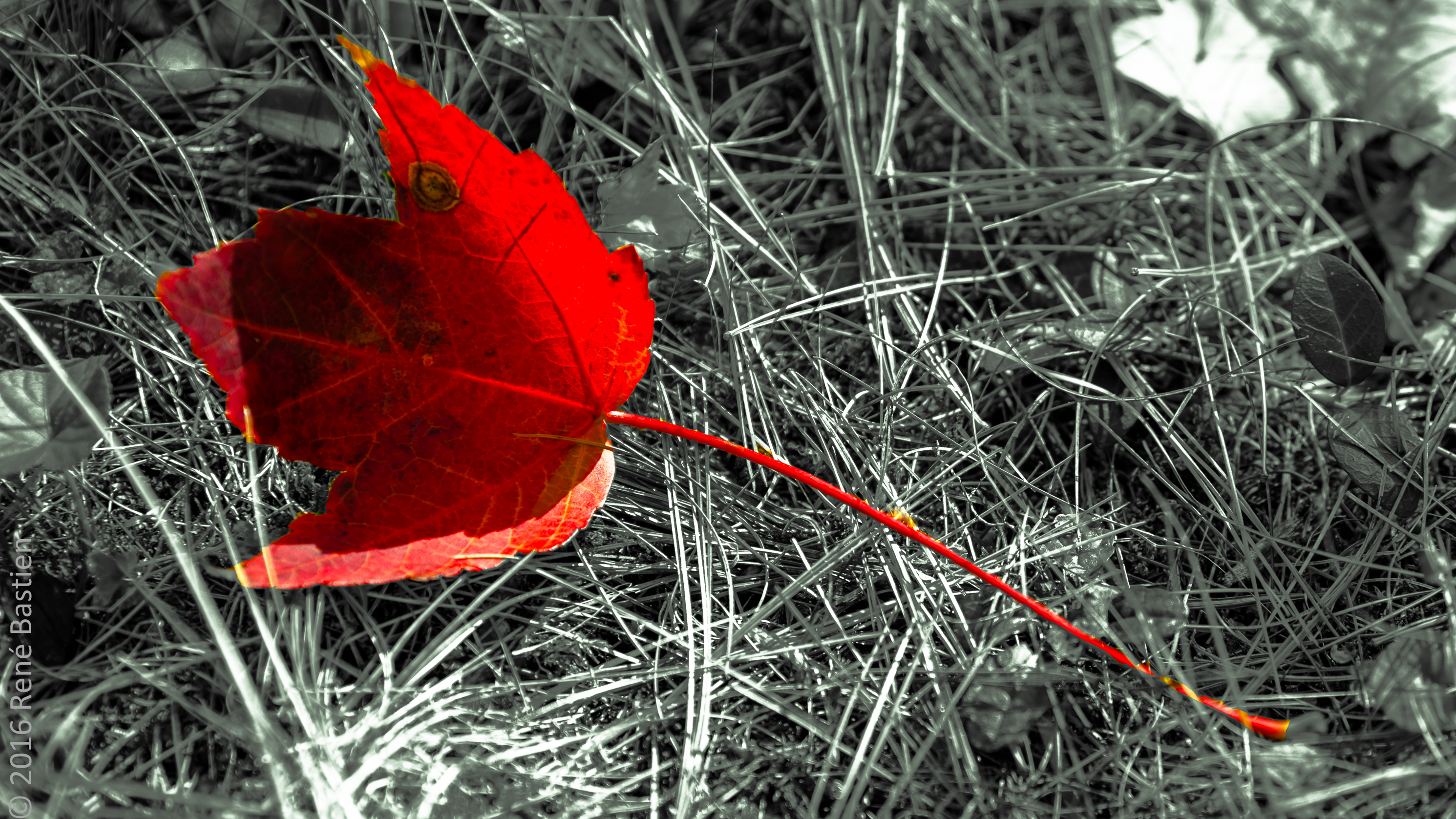 b&w red leaf