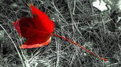 b&w red leaf