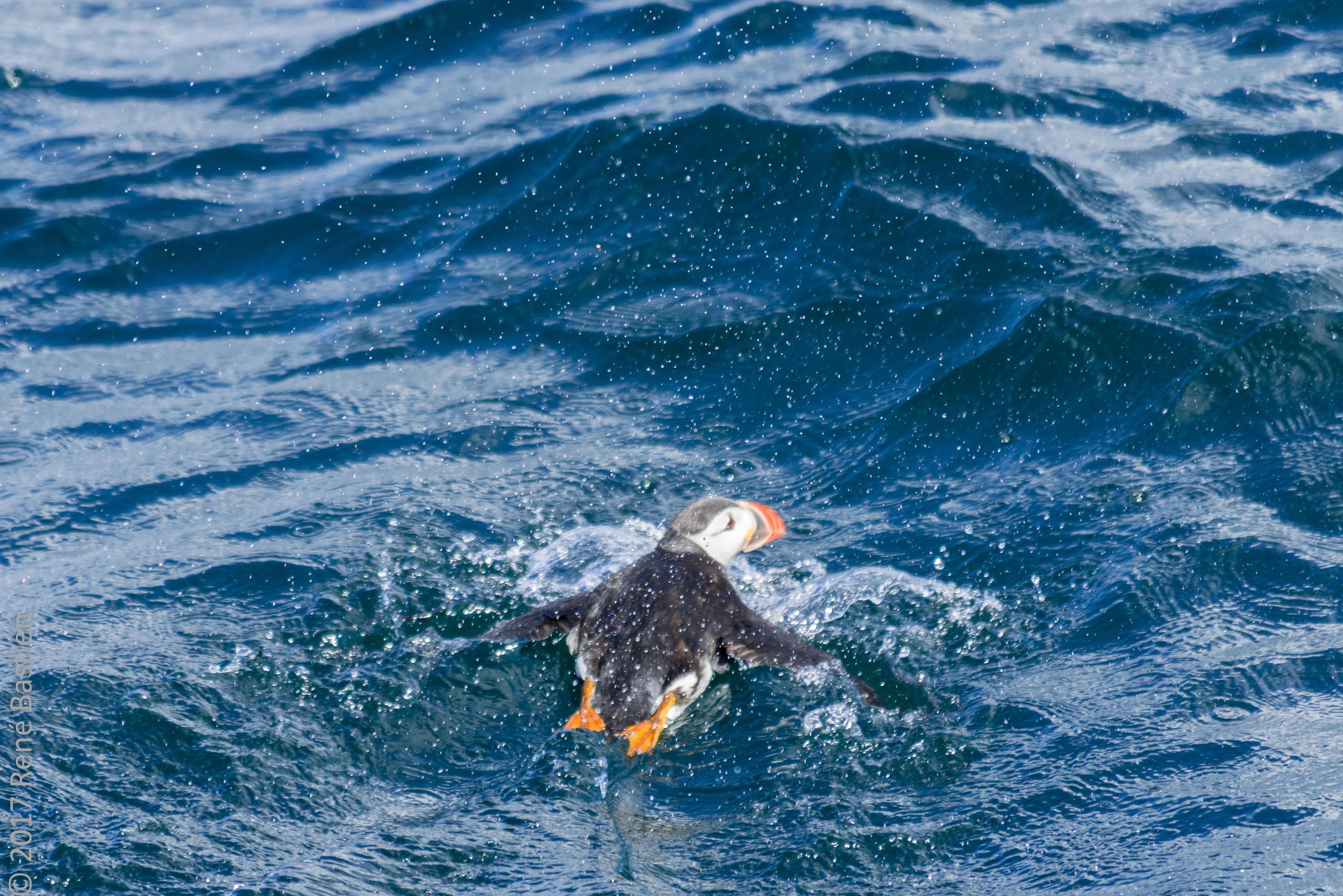 witless bay puffin-4083