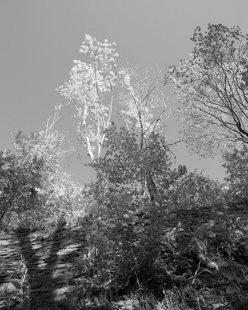 Mountain_Ash_Sunlit.jpg