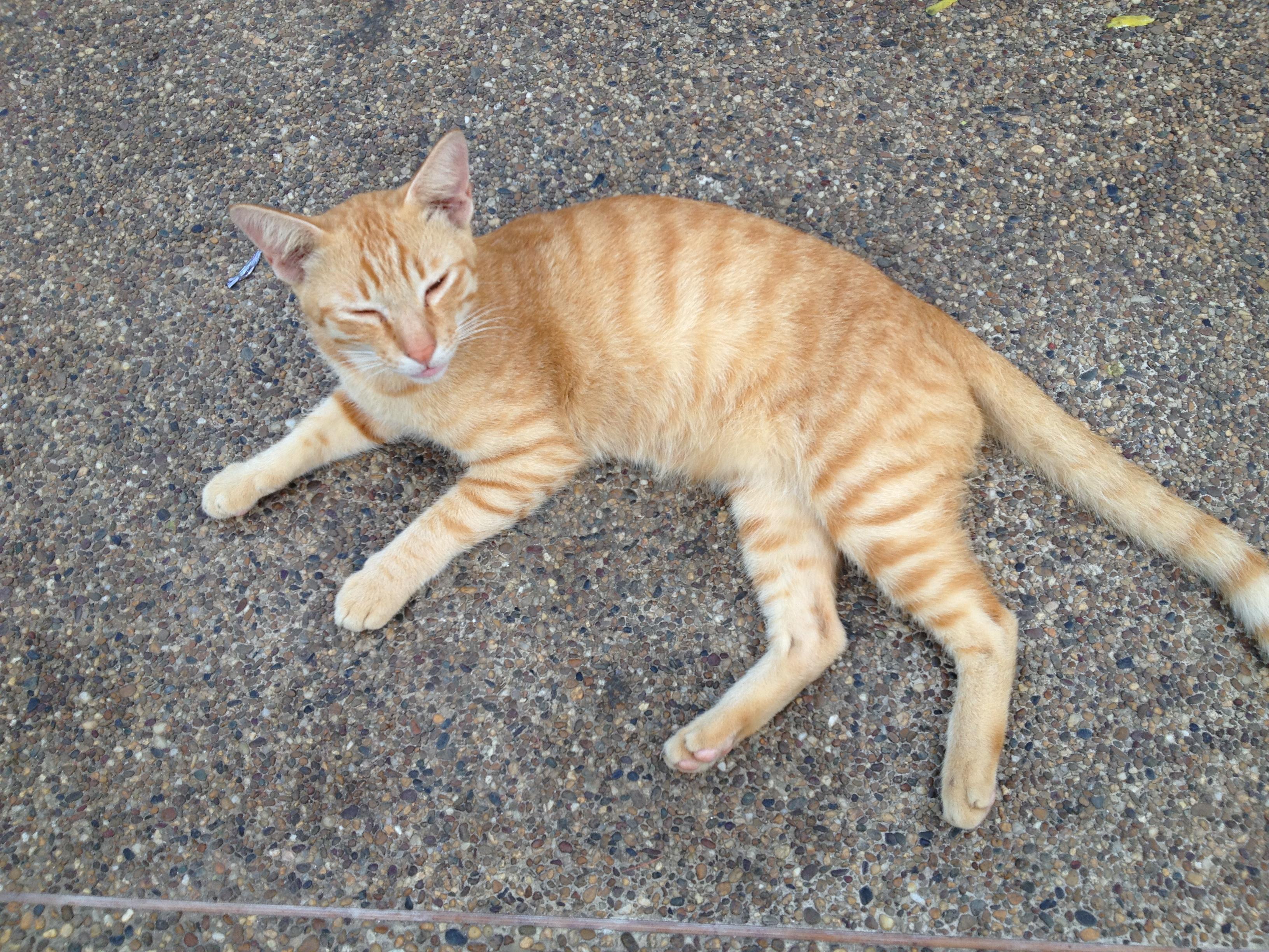 THAI STREET CAT