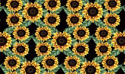 485 sunflower