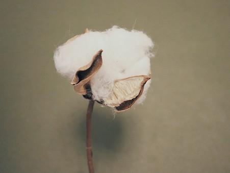 Historia bawełny okiem Natury