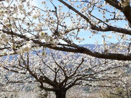 Primavera en el Jerte y La Vera.