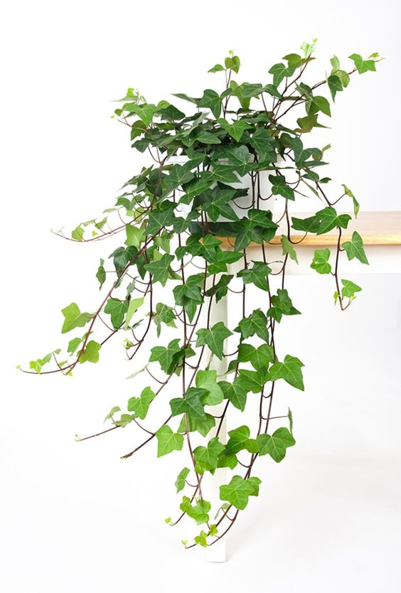 English Ivy, easy to propagate and looks great in a living wall