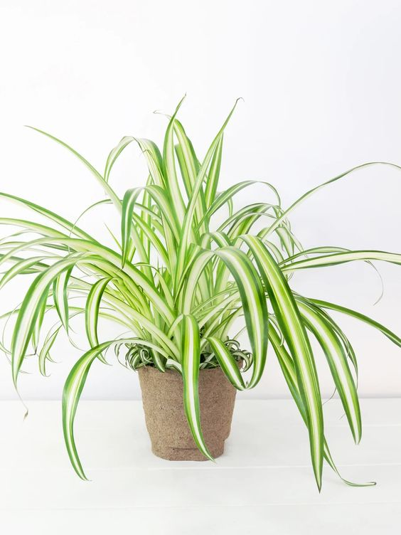 Spider Plant, easy to propagate and looks great in a living wall