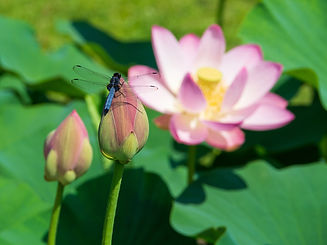 Dragonfly%20and%20Pink%20Lotus%20Flowers