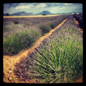 A snapshot of the rows of lavender.