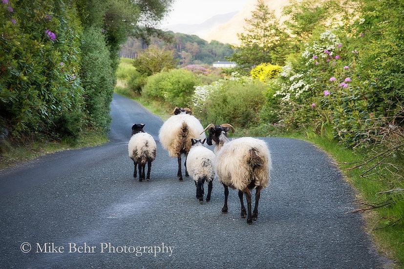 I'll Follow Ewe