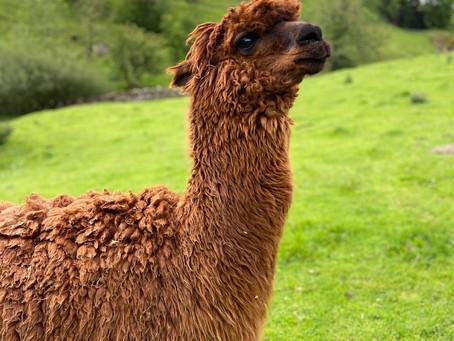 July- Rio the Alpaca