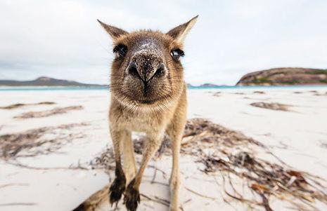 kangeroo-on-beach.jpg