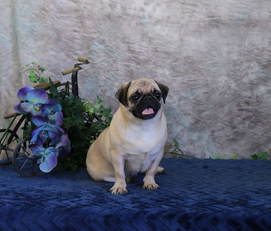 Colored Pug_Dolly_Female.jpg