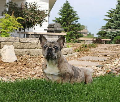 French Bulldog_Temara_Female.jpg
