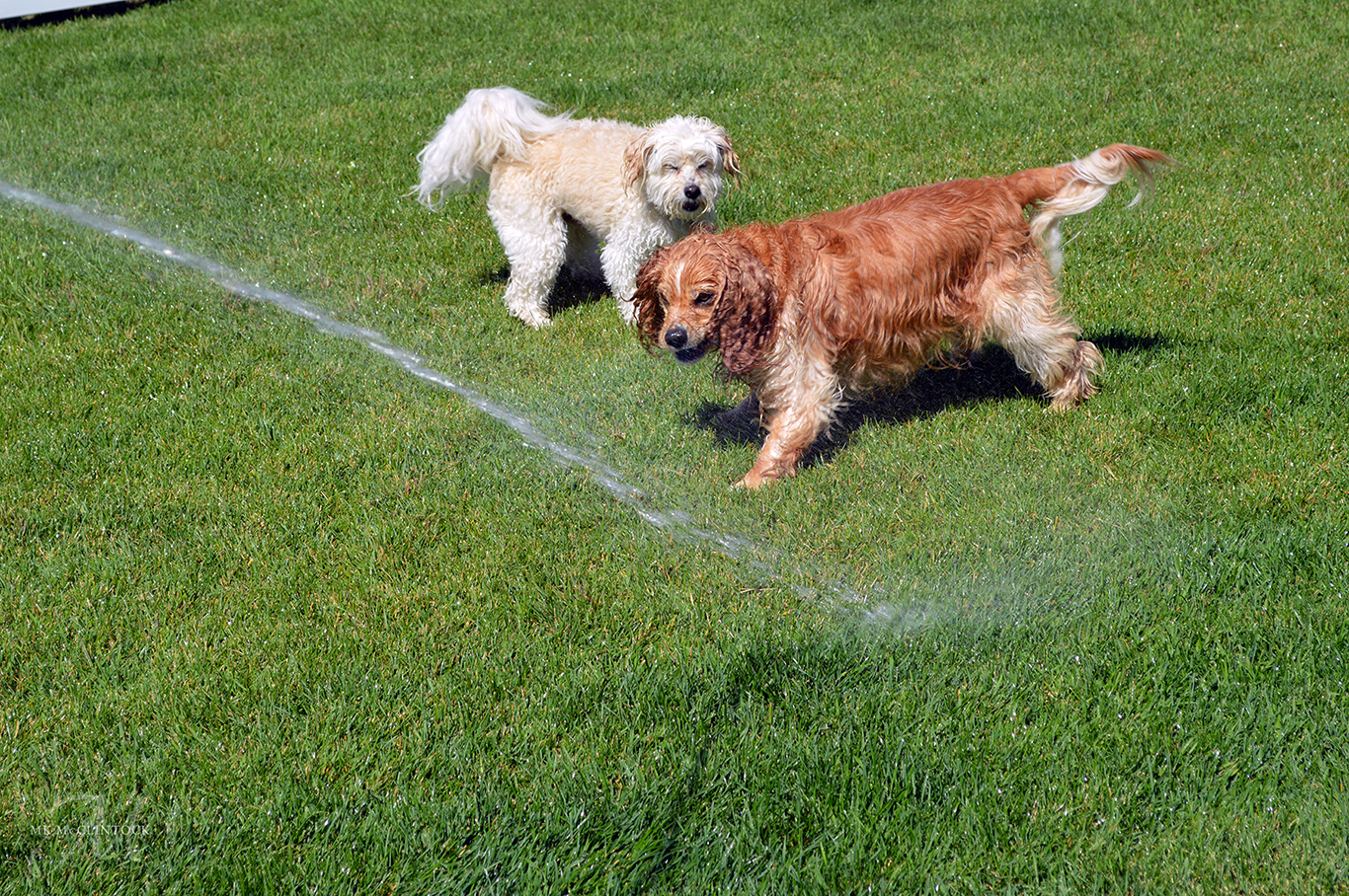 Puppies and Water Play Time_MK McClintock