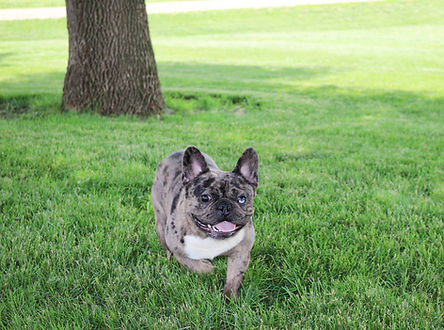 French Bulldog_Bruno_Male_Retired.jpg