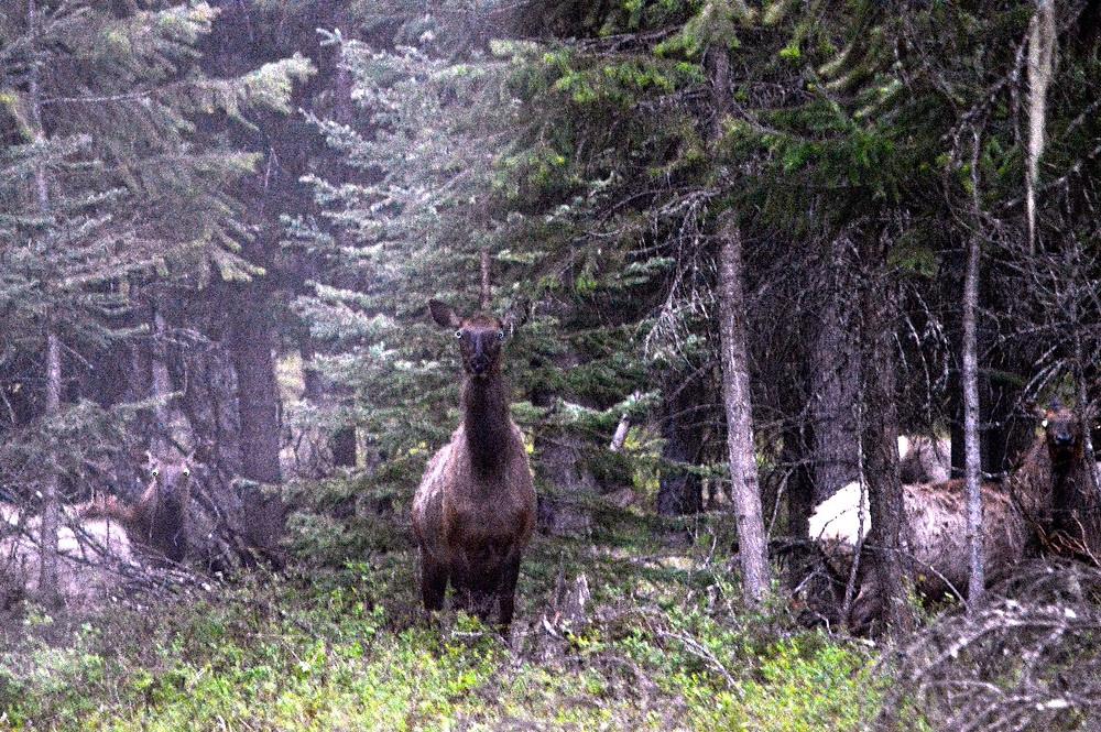 Elk in Montana_MK McClintock