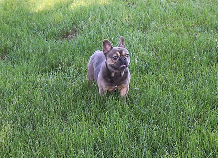 French Bulldog_Rocky Top_Male_Retired.jp