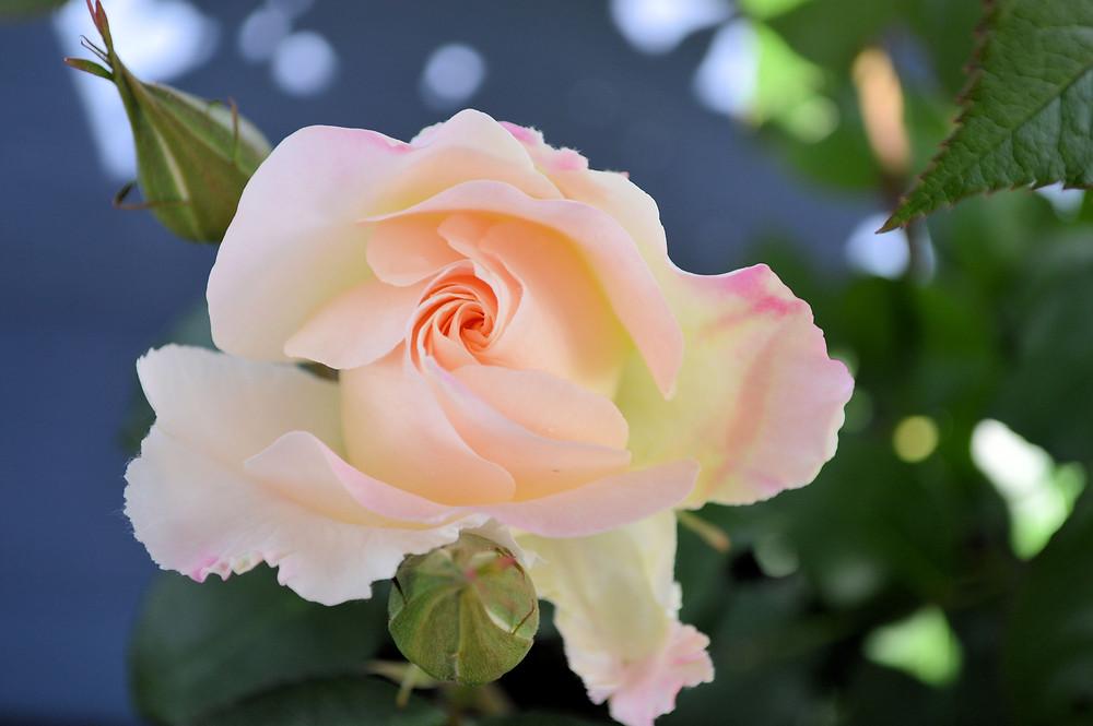 Rose ©MK McClintock