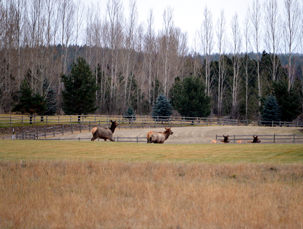 Elk on Thanksgiving by MK McClintock