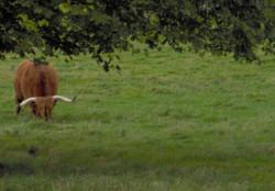 Highland Cow (Wooley Moo)