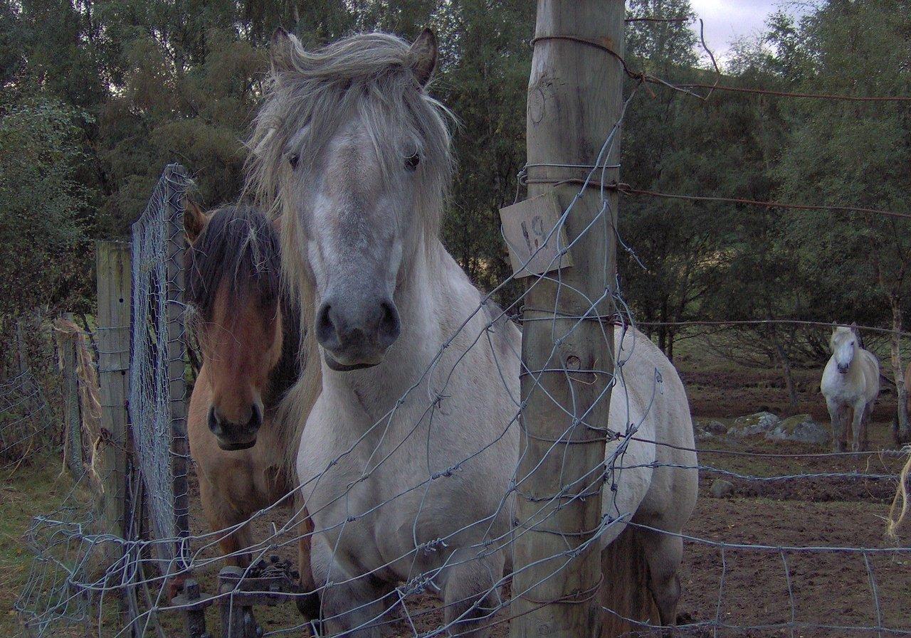 Highland Ponies - My favorite