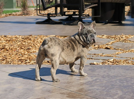 French Bulldog_Morocco_Male_Bundles of L