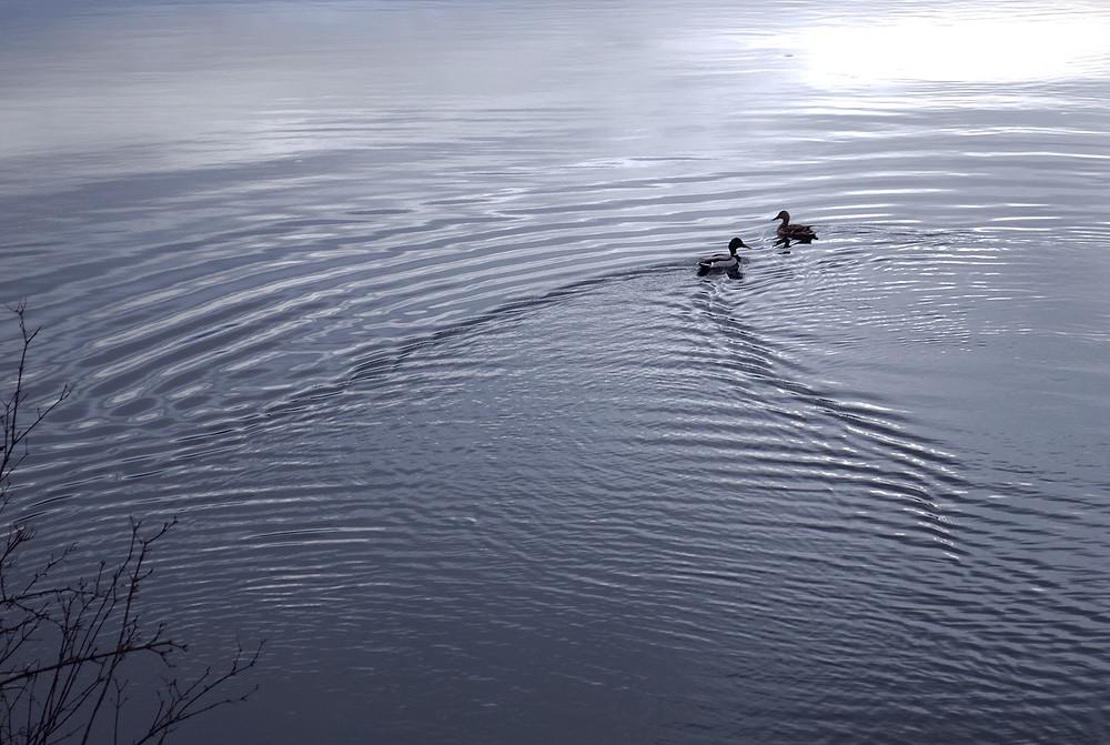 River Road Reflections_©MK McClintock #river #Montana #ducks