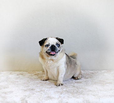 Panda Pug_Little Pegal_Female.jpg
