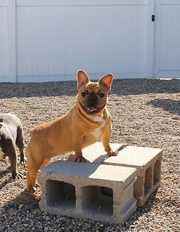 French Bulldog_Delta_Female.jpg