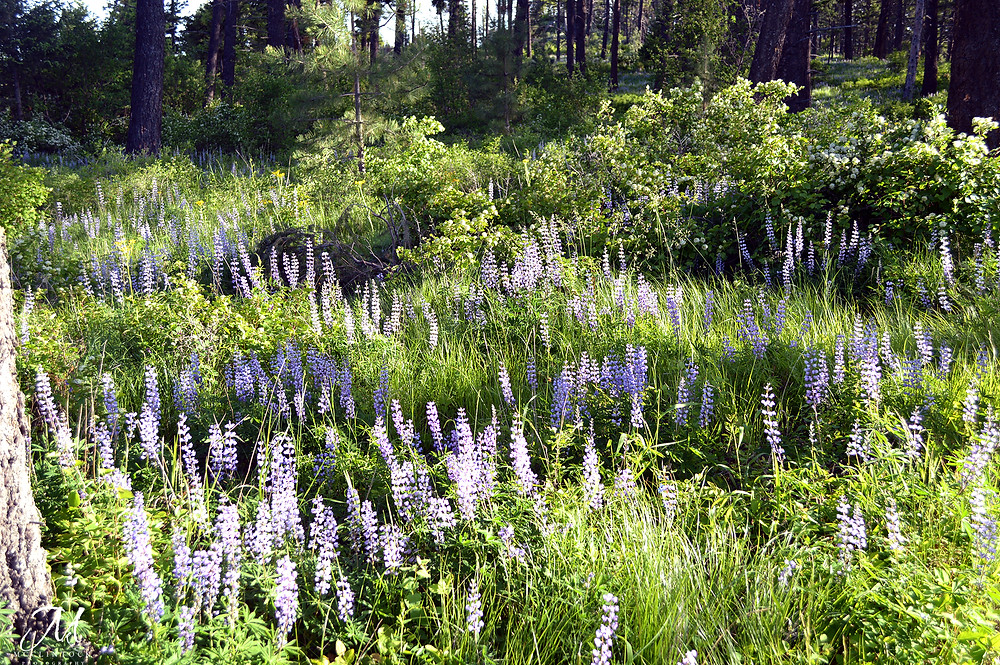 Morning Walk in the Lupine - MKMcClintock.com - #woods #flowers #nature #walking