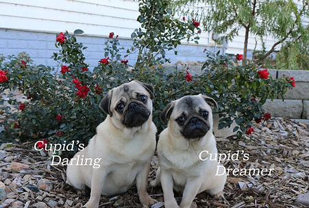 Pug_Cupids Darling-Cupids Dreamer_Female