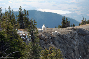 It's All About Mountain Goats