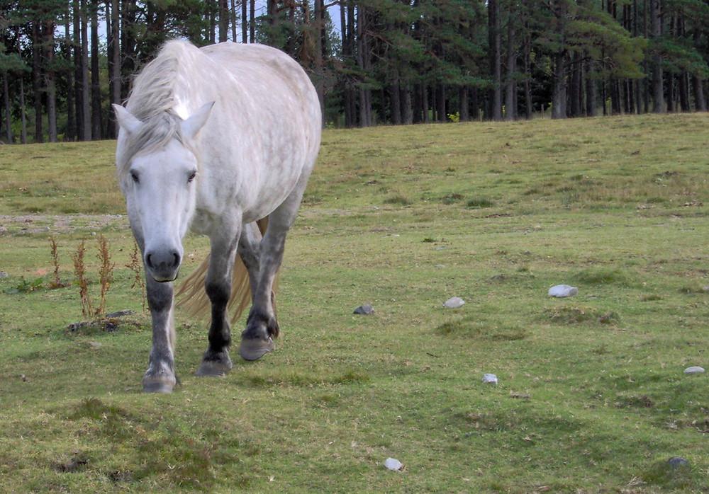 Highland Pony by MK McClintock